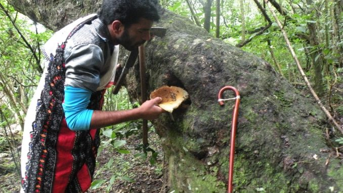 Toda man collecting honey from a hive in tree cavity